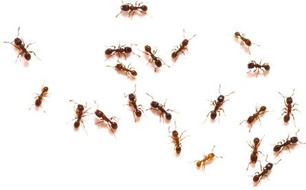 Illinois Ant Control St Charles Geneva South Elgin