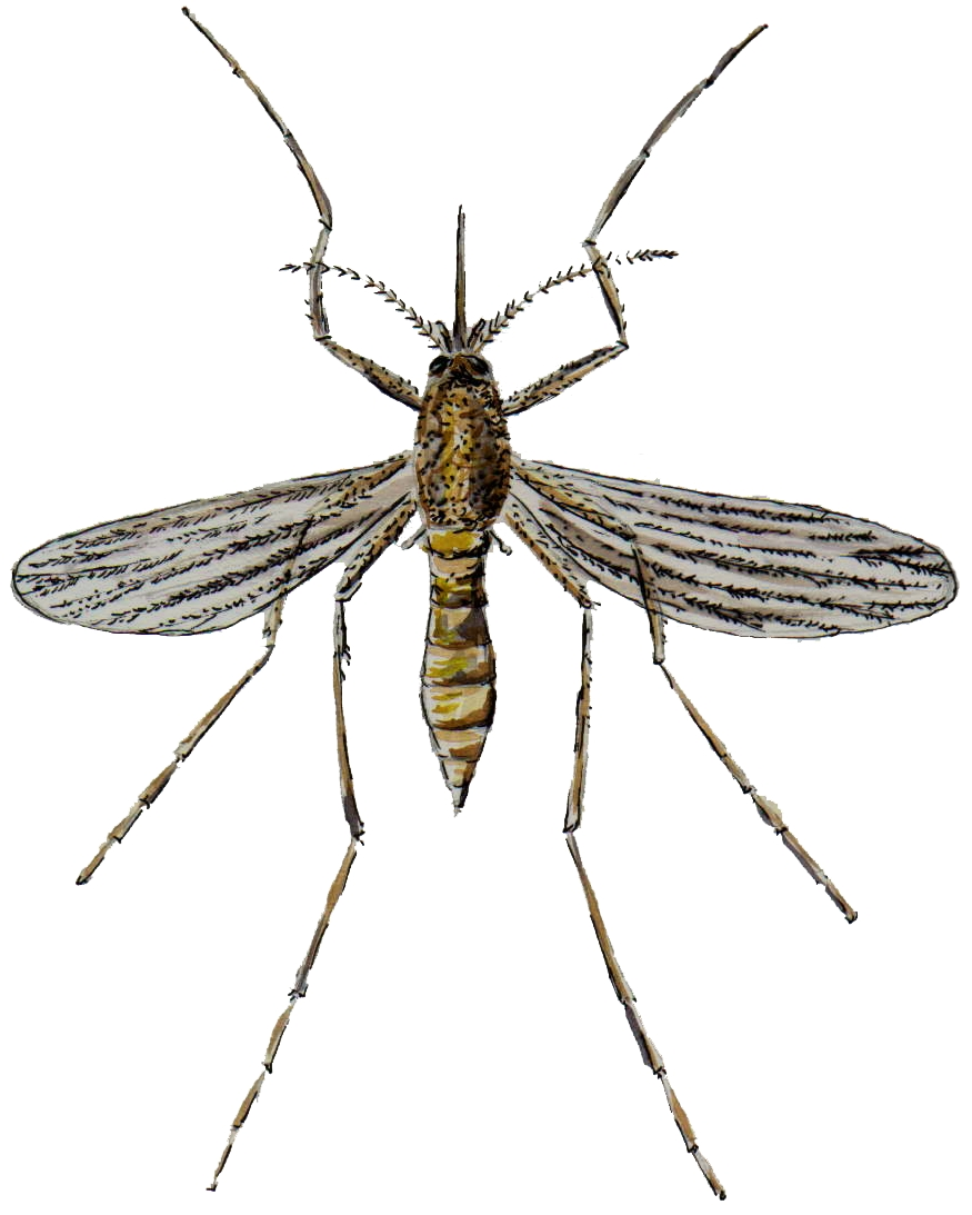 Everything You Need To Know About Mosquitoes Proactive Pest Management
