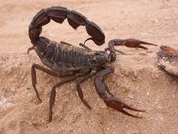 Black Spitting Thick Tailed Scorpion