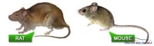 mouse rat comparison