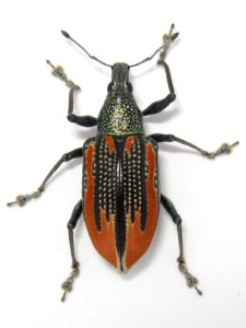 citrus-root-weevil-insecta