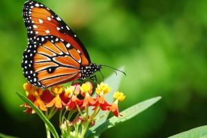 butterflyresting