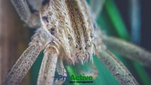 grass-spider
