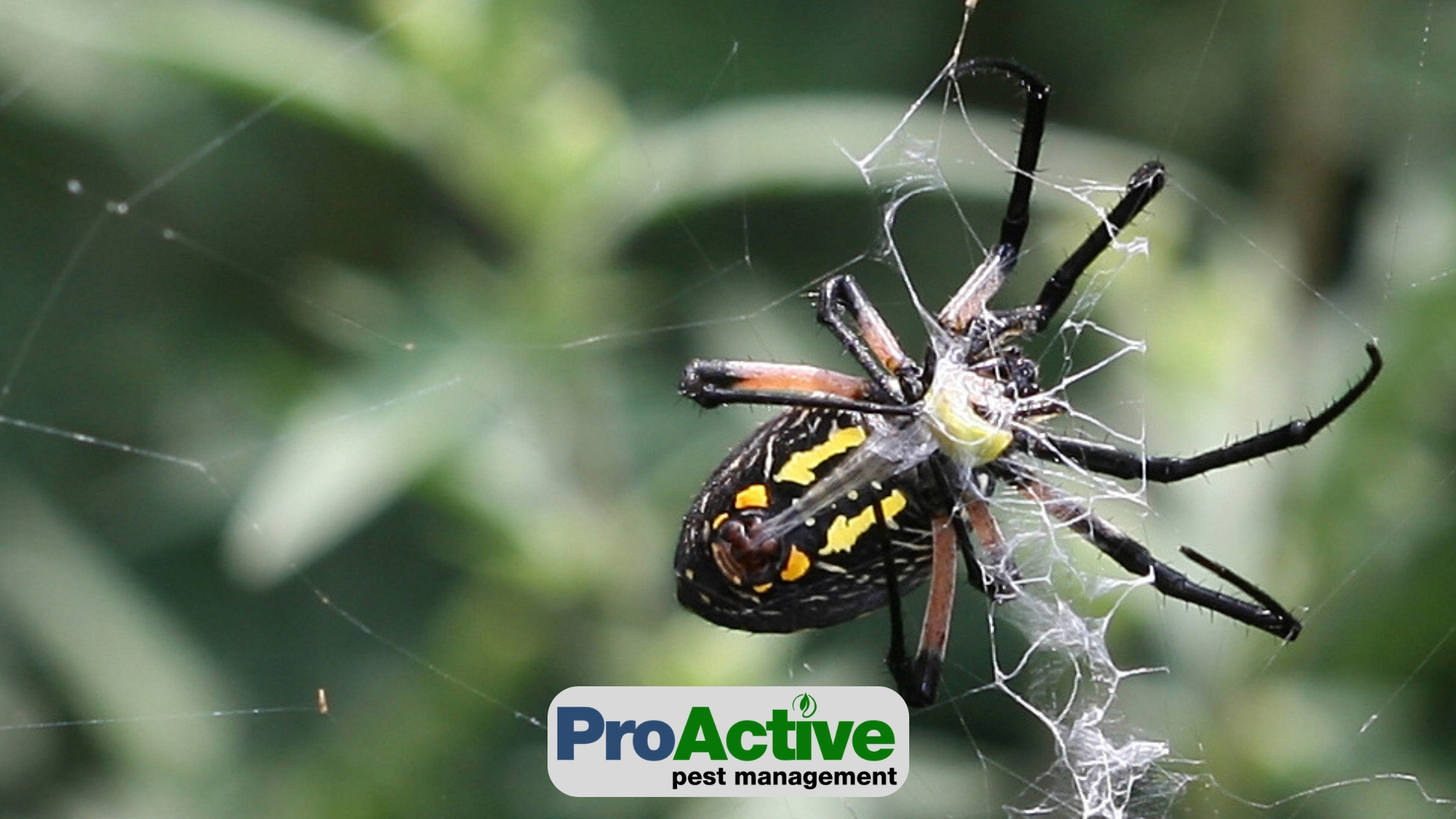Common Spiders In The Midwest Proactive Pest Management