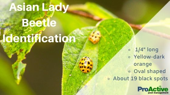 Orange Asian Lady beetles on a green leaf