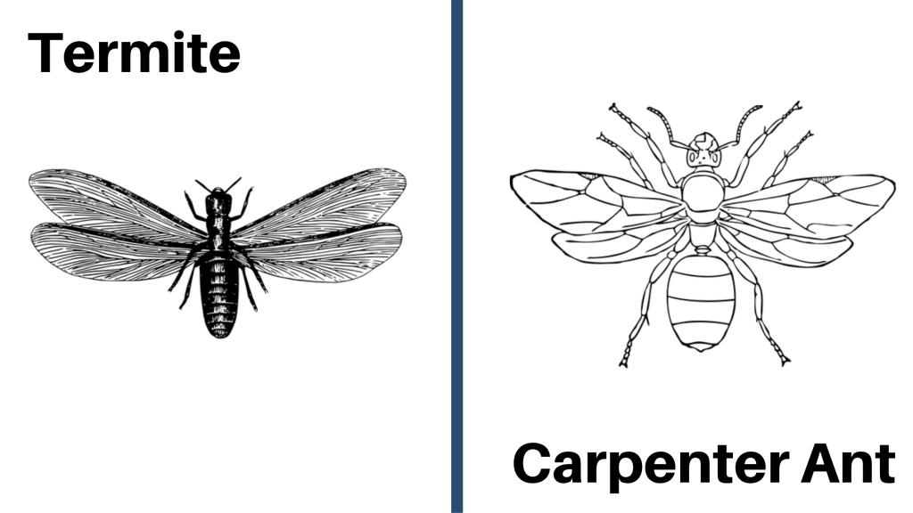 Termite vs Carpenter Ant